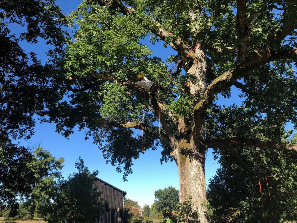Joan Hubert en train de tailler un chêne à Sanguinet, dans les Landes.
