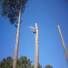 Joan Hubert, élagueur en gironde en train d'abattre un pin.